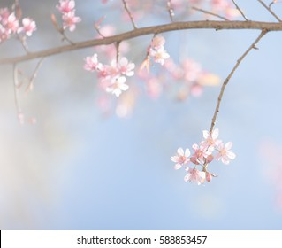 Beautiful pink cherry blossoms or sakura flowers blooming on branch with pink bokeh in pastel tone use for the soft background, close up