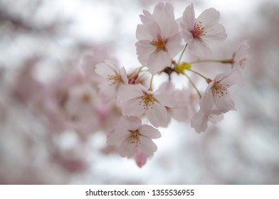 Beautiful pink cherry blossoms with soft bokeh background, seen at Suika Tenmangu Shrine in Kyoto City, which is the first Tenmangu Shrine in Japan.