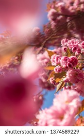 Beautiful pink cherry tree blossoms close-up backgrounds