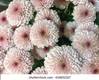 Beautiful pink chrysanthemum as background picture. Chrysanthemum wallpaper, chrysanthemums in autumn.
