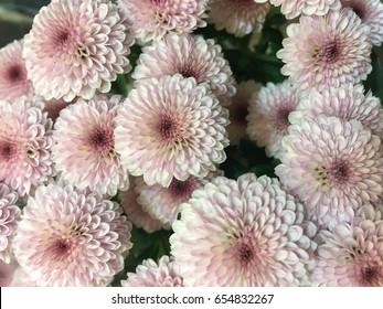 Beautiful pink chrysanthemum as background picture. Chrysanthemum wallpaper, chrysanthemums in autumn.