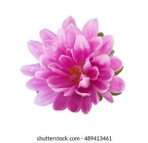 Beautiful pink Chrysanthemum Flower isolated on White Background