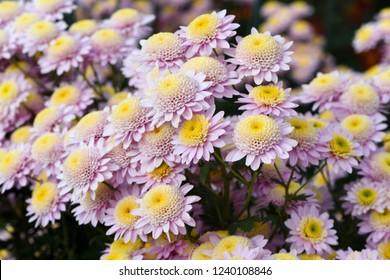 Beautiful pink chrysanthemums closeup, autumn flowers