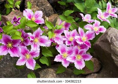 Beautiful pink clematis close-up outdoors. Clematis cultivar 'Piilu'