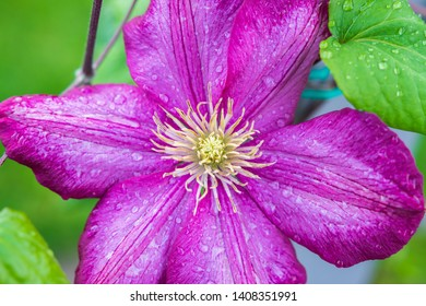 Beautiful pink clematis flower blossom in garden - close up