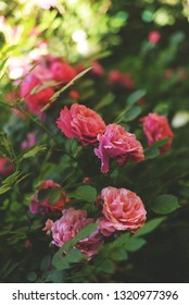 Beautiful pink climbing roses in spring in the garden