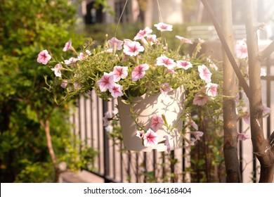 Hermosas flores de petunias rosas con luz solar en el jardín. Flores de Petunia en el jardín. Ola de Petunias.