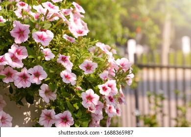 Hermosas flores de petunias rosas con luz solar en el jardín.Flores de Petunia en el jardín. Ola de Petunias.