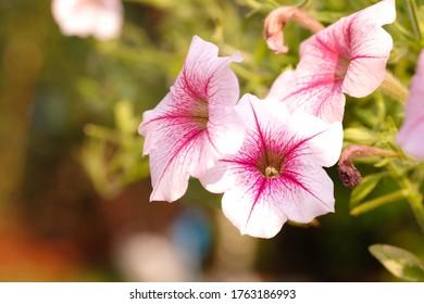 Hermosas flores de petunias de color rosa con luz solar en el jardín. Flores de Petunia en el jardín. Ola de Petunias.