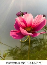 Beautiful pink cosmos flower with light flare in background