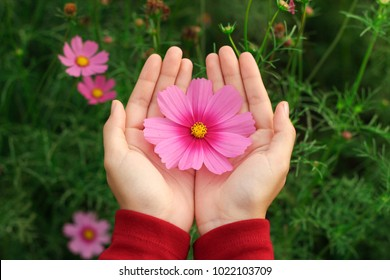 Pink cosmos flower background images stock photos vectors beautiful pink cosmos flower on hand with green garden background mightylinksfo Image collections