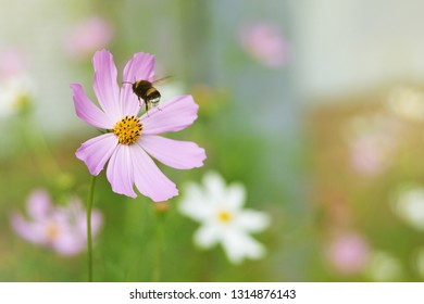 Beautiful pink cosmos flower on spring flowerbed and flying bumblebee in green nature macro on soft blurry light background. Concept spring ore summer, elegant gentle artistic image with copy space