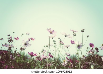 Beautiful of pink cosmos flowers