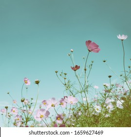 Beautiful Pink Cosmos flowers or daisy under sunlight in the garden with blue sky background in Vintage color tone.