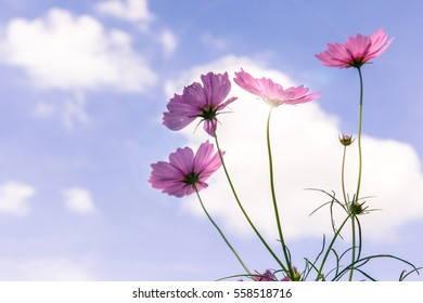 Beautiful pink cosmos flowers in sunny day with blurred blue sky background and sunlight in back, natural background.