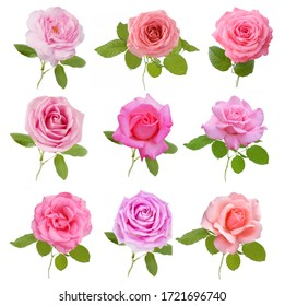 Beautiful pink and cream Rose set isolated on white background