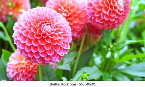 Beautiful pink dahlia Pink Dahlia