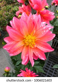 Beautiful pink dahlia Dahlia . Dahlia flower in garden