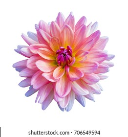Beautiful pink dahlia flower isolated on white background