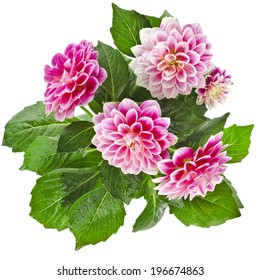 Beautiful Pink Dahlia Flowers bouquet Isolated on White Background