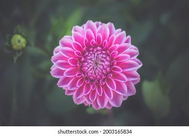 schöner rosafarbener Dahlia im Garten