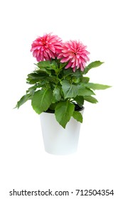 beautiful pink dahlia in pot isolated on a white background