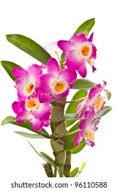 beautiful pink dendrobium flowers on a white background