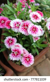 Beautiful Pink Dianthus Flowering in a Pot