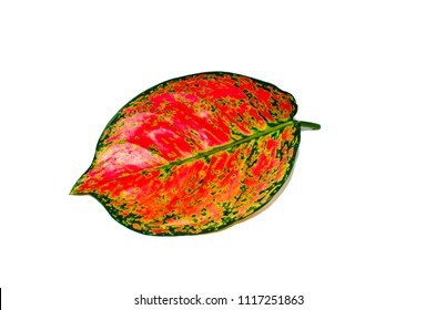Beautiful pink Dieffenbachia single leaf with abstract pink pattern isolated on white background.