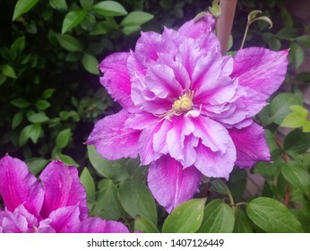Beautiful pink double flowered clematis in a backyard garden. Clematis cultivar 'Piilu'.