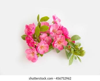 Beautiful pink English rose on white background