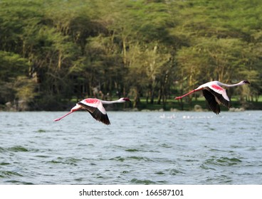 Beautiful pink Flamingos above water