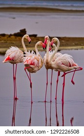 Beautiful pink flamingos standing in a water-filled saltpan at dawn, Walvis Bay, Namibia.