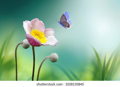 Beautiful pink flower anemones fresh spring morning on nature and fluttering butterfly on soft green background, macro. Spring template, elegant amazing artistic image, free space.