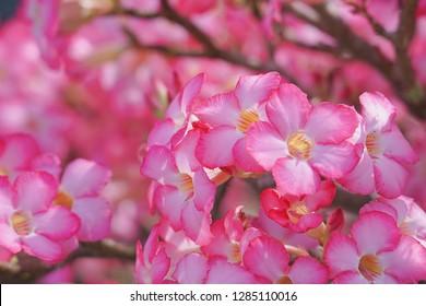 Beautiful pink flower blossom in the garden. Pink Adenium flower, Desert rose, Mock azalea, Impala lily, Sabi star, Kudu lily.