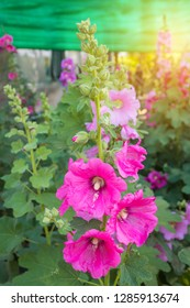 Beautiful pink flower of Hollyhock (Althaea rosea, Alcea rosea)