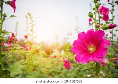 Beautiful Pink flower hollyhock blossoms decorate in garden