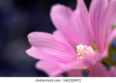 Beautiful pink flower. Mallow (Malva silvestris) on the dark background.