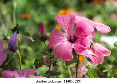 Beautiful pink flower of royal mallow (Lavatera trimestris)