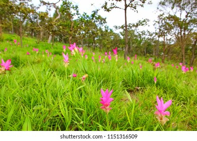 beautiful pink flower ,zingiberaceae, in Sai thong National park  Chaiyaphum