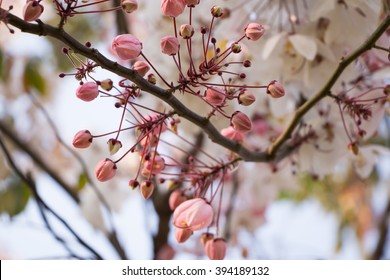 Beautiful pink flowering tree as a natural.