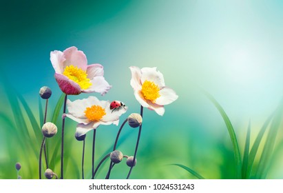 Beautiful pink flowers anemones fresh spring morning on nature with ladybug on blurred soft blue green background, macro. Spring template, free space