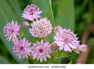 Beautiful pink flowers of Astrantia. Closeup. Selective focus