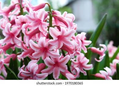 Beautiful pink flowers as a background image.