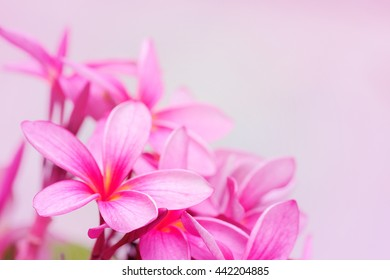 Beautiful pink flowers for background, Pink plumeria, Bouquet of pink flowers, Pink background