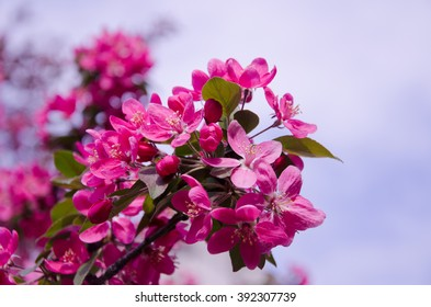 Beautiful pink flowers (branch with the first cherry-tree flowers)