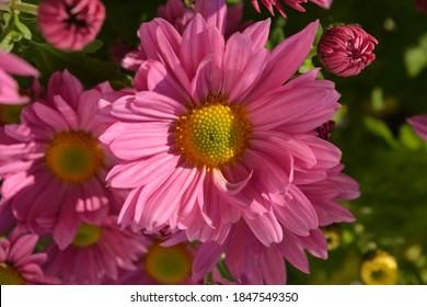 Beautiful pink flowers, Chrysanthemum Clara Curtis