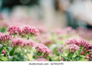 Beautiful pink flowers field and care.