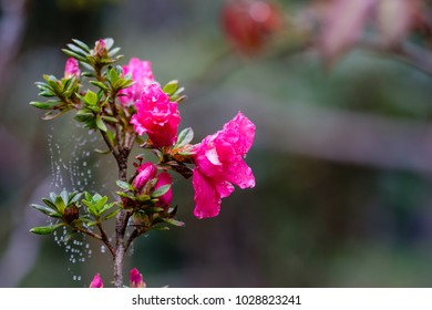 beautiful pink flowers and green leaves from a bush being bathed