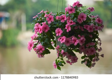 Beautiful pink flowers in hanging pot against background of river